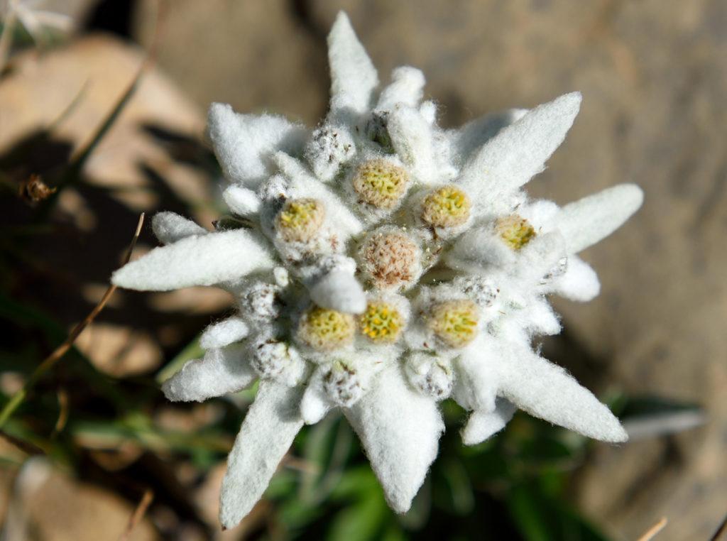эдельвейс цветок фото