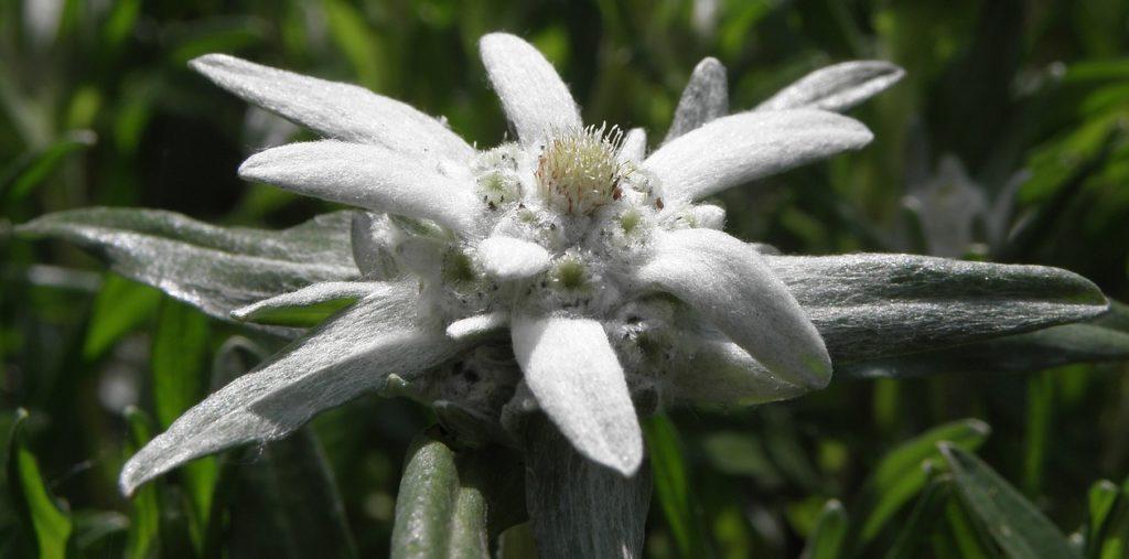 эдельвейс цветок