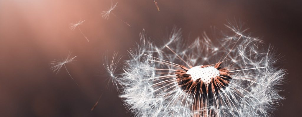 настойка цветков одуванчика