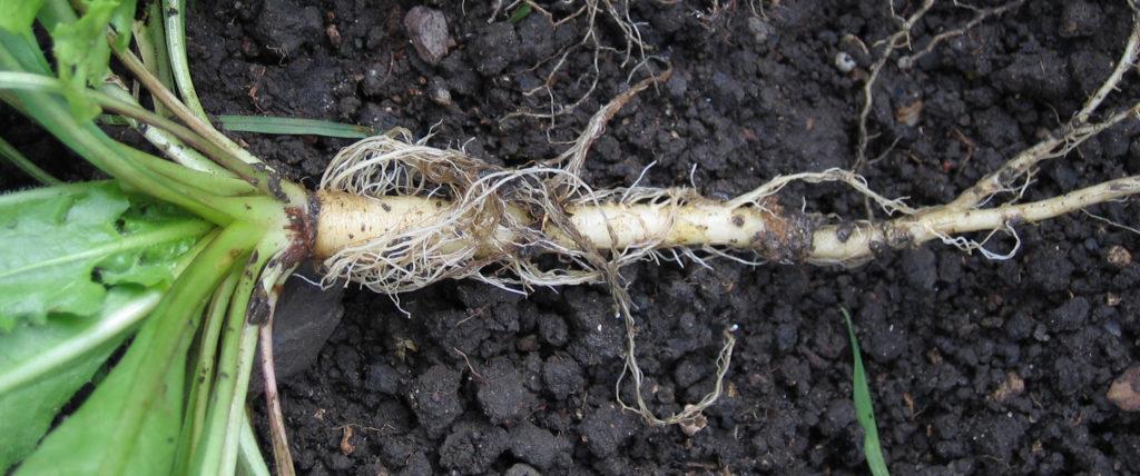 отвар из корней одуванчика польза и вред