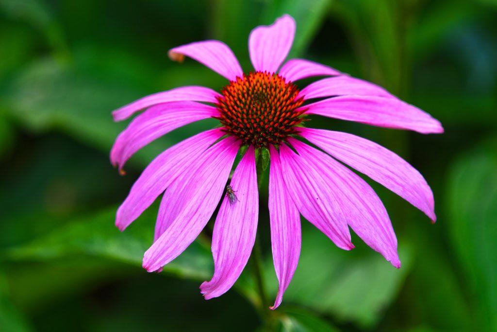 эхинацея пурпурная лечебные
