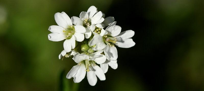 Соцветие веснянки весенней