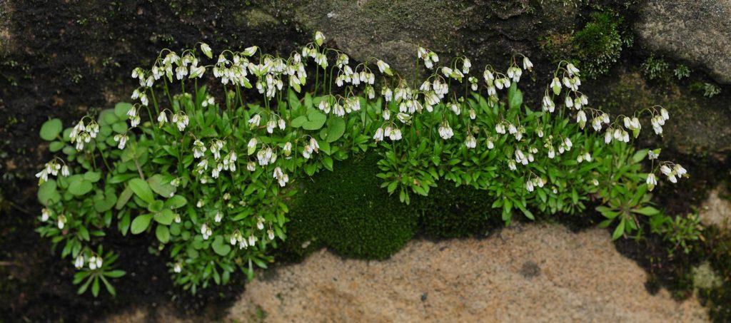Кусты веснянки весенней