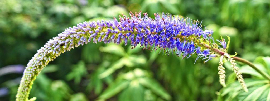 Соцветие вероники лекарственной