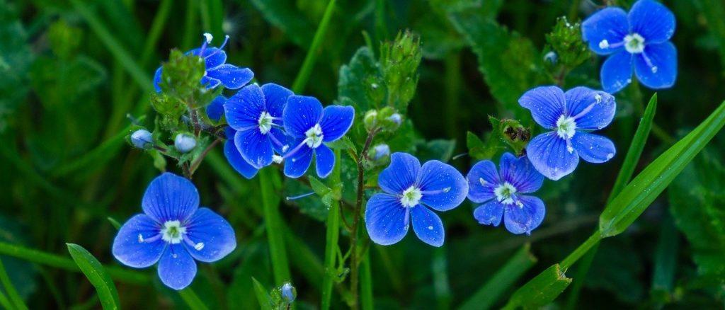 Цветки вероники дубравной