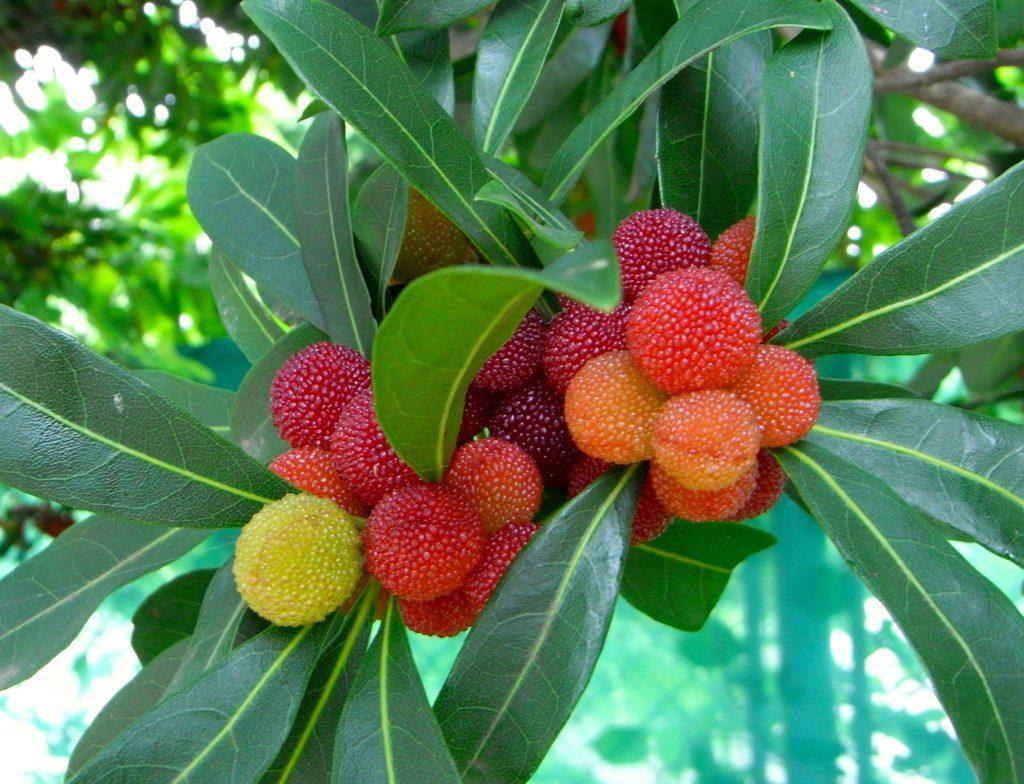 Красивые плоды восковницы