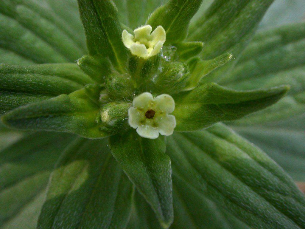 Два цветка растения