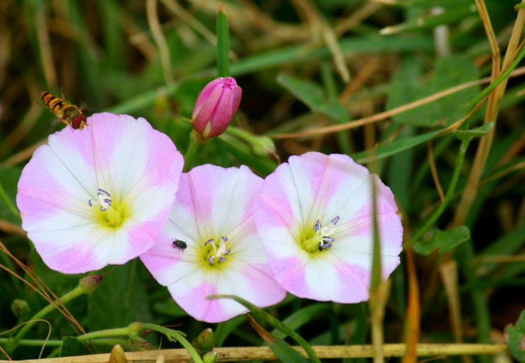 Цветы вьюнка с насекомыми