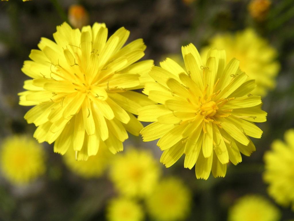 Два цветка ястребинки