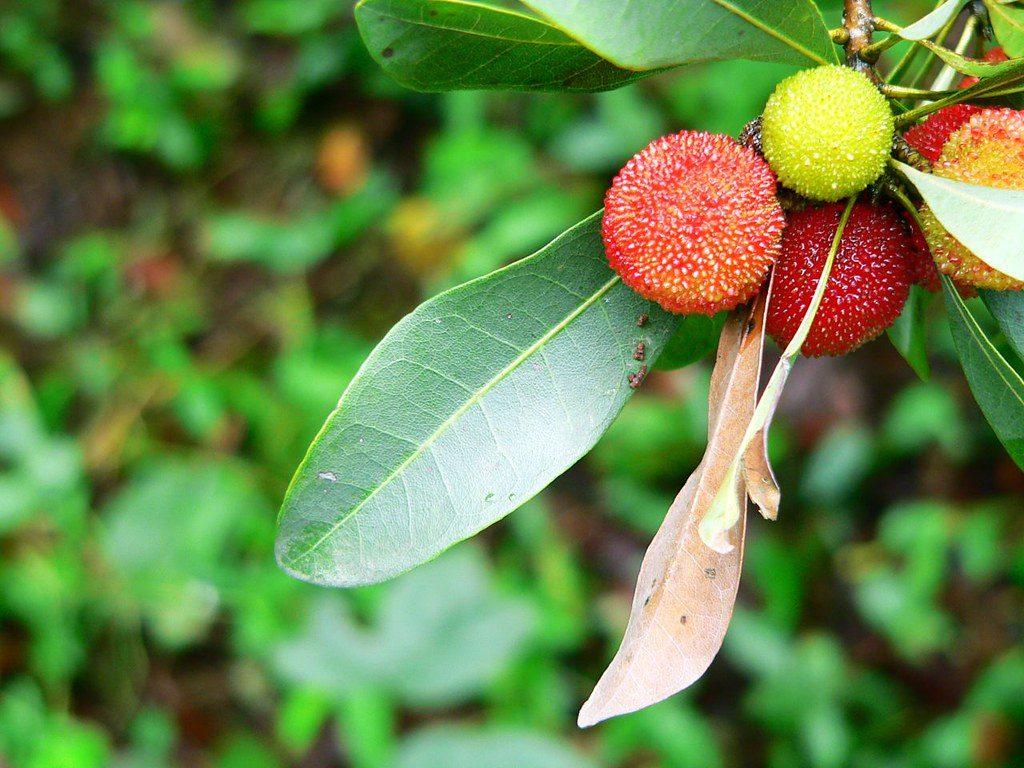 Плоды восковницы на деревер