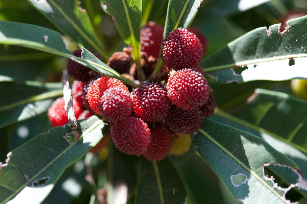 Плоды восковницы с листьями