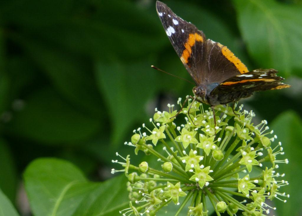 Элеутерококк с бабочкой