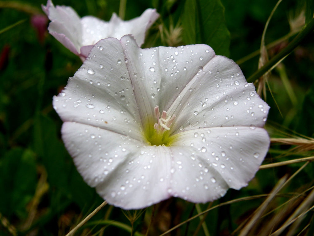 Цветок вьюнка после дождя