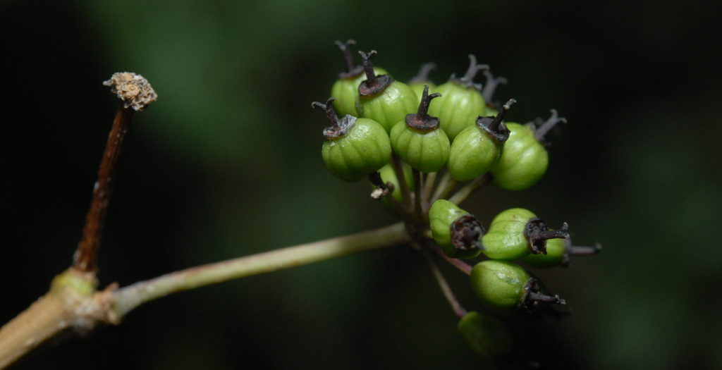 Соцветие элеутерококк, которое начинает становиться плодами