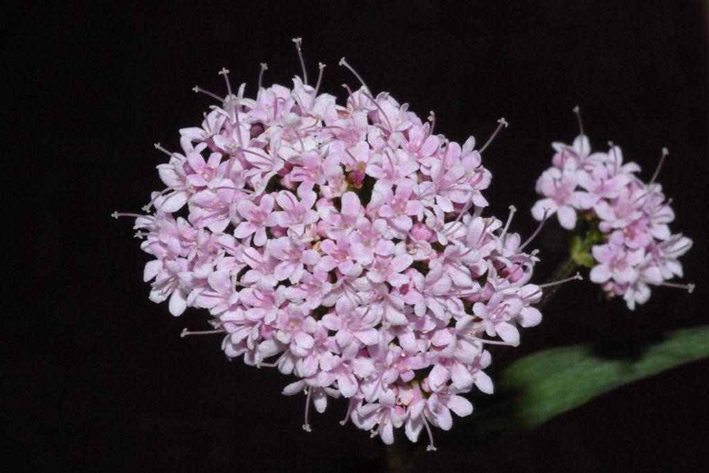 Розовые цветки валерианы