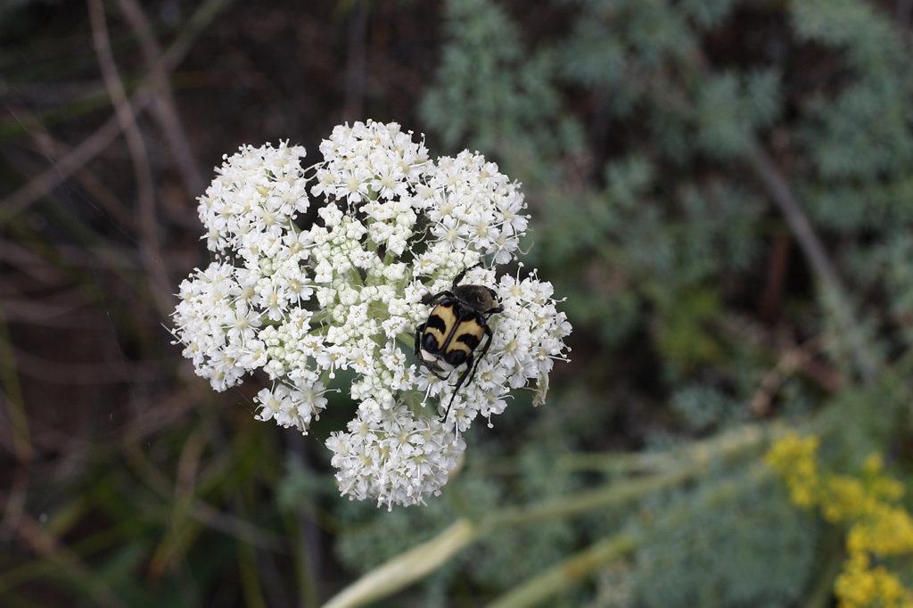 Вздутоплодник с пчелой