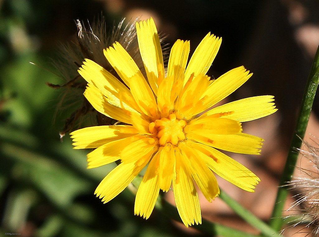 Цветок ястребинки